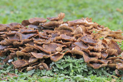 Honey Fungus - Armillaria mellea Stock Image