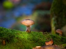 Honey fungus Armillaria mellea Stock Photo