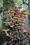 Honey Fungus Royalty Free Stock Photo