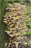 Honey Fungus Stock Images