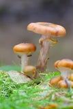 Honey fungus. (Armillaria sp.) on dead wood Stock Photo