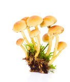 Honey fungus or Armillaria Royalty Free Stock Image