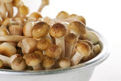 Honey fungus (Armillariella mellea), Royalty Free Stock Image
