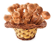 Honey fungus in basket Stock Photos
