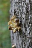 Honey Fungus Stock Photo