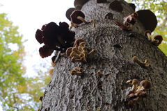 Honey Fungus Royalty Free Stock Image