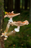 Honey fungus growing on an Oak. Two big and some small Honey fungus mushrooms growing on an Oak Stock Photos