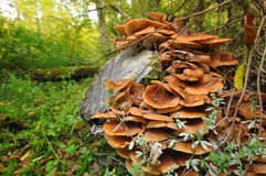 Honey Fungus, Mashrooms in Bialowieza Forest Royalty Free Stock Photography