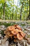Honey Fungus Ringless Foto de archivo