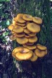 Honey Fungus Ringless (tabescens del Armillaria) Imágenes de archivo libres de regalías