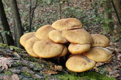 Honey fungus Stock Photography