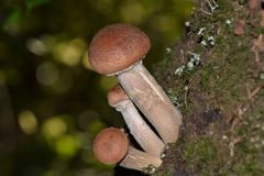 Honey fungus on a stump. Mushrooms on a stump in the autumn forest Royalty Free Stock Photo