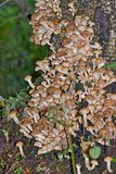 Honey fungus on a stump. Mushrooms on a stump in the autumn forest Stock Photo