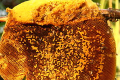 Honey from the hive making. In honeycombs Royalty Free Stock Photography