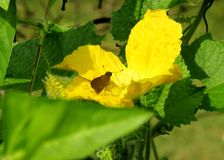The honey hunter butterfly on a yellow flowers. stock image