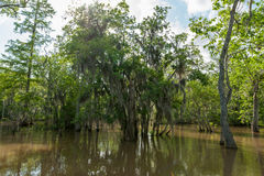 Honey Island Swamp Tour With Jungle Forest and Tree in New Orleans, Louisiana Stock Images
