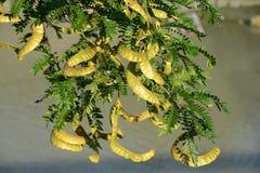 Honey locust royalty free stock photo