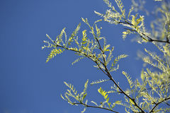 Honey locust Stock Photo