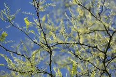Honey locust Stock Photos