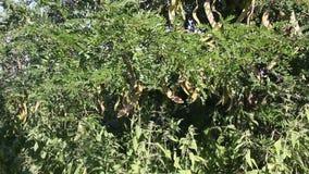 Honey Locust tree. Gleditsia triacanthos with fruit stock video