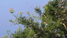 Honey Locust tree. Gleditsia triacanthos with fruit stock footage