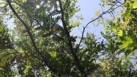 Honey Locust tree. Gleditsia triacanthos with fruit stock video footage