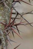 Honey Locust Tree Thorns Royalty Free Stock Photo