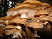 Honey Mushroom. Armillaria mellea, the Honey Mushroom is considered a fine edible Royalty Free Stock Image