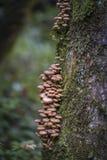 Honey mushroom cluster Armillaria ostoyae. On tree bark stock image