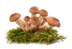 Honey mushroom Stock Photos