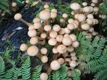 Honey mushrooms Stock Image