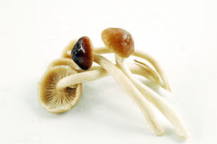 Honey mushrooms Royalty Free Stock Images