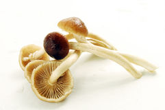 Honey mushrooms Stock Photo