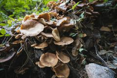 Honey mushrooms cluster in the forest Royalty Free Stock Images