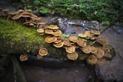 Honey mushrooms cluster in the forest Royalty Free Stock Photography