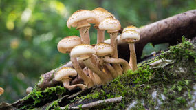 Honey mushrooms Stock Photos