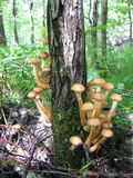 Honey mushrooms growing at tree Stock Image