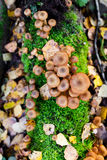 Honey mushrooms growing at tree by a group Stock Images