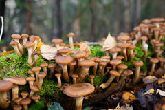 Honey mushrooms growing at tree by a group Royalty Free Stock Photos