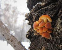 Honey mushrooms on a tree. In the winter forest. Early winter Stock Photography