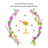 Honey plant set. For producing the best honey for banner or flyer. Wild flowers and bee. Flat design botanical vector illustration eps 10 Stock Photos
