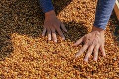 Honey process coffee with sunlight. Honey process coffee with sunlight,Hands are sorting coffee beans Stock Photography