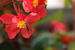 Honey. Red flowers and a bee Stock Photography