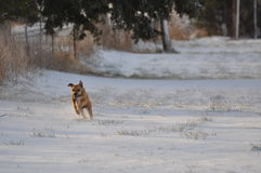 Honey's run in the new snow. Royalty Free Stock Photography