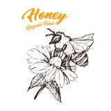 Honey Sketch Bee, conception de produits de Honey Hand Drawn Superfood Organic, illustration de vecteur Photos libres de droits
