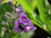 Honey sucker. IDng. They can`t enter long tubular flower and make a slit at the base of the flower to `steal` nectar the : Carpenter bee.n There are some 500 Stock Photo