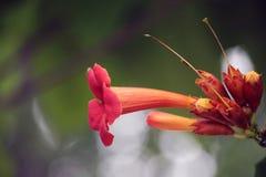 Orange Honey Suckle Blossom Stock Photos