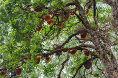 Honey tree. Honeycomb hanging high in the trees royalty free stock photo