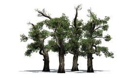 Honey Trees avec l'ombre sur le plancher Photographie stock