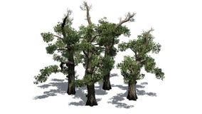 Honey Trees con la sombra en el piso Imágenes de archivo libres de regalías